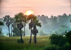 A sunrise (Tungmay aka ) Tags: sunrise landscape mist trees palmtrees thailand nikon