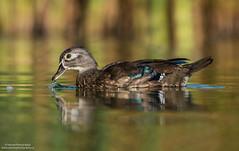 Wood Duck  Female (salmoteb@rogers.com) Tags: duck
