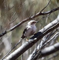 Varied Sittella (Daphoenositta pileata) (Doublebar) Tags: abirdsaustralia a australianbirds sittella549varied