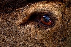 'October's Eye' (Jonathan Casey) Tags: red deer stag wollaton park nottingham close up eye nikon d810 400mm f28 vr