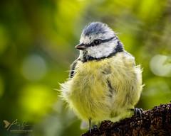 Blue Tit (Explored 28 September 2016) (ABPhotosUK) Tags: animals birds bluetit bokeh canon cyanistescaeruleus dartmoor devon ef100400mmisii eos7dmarkii garden nocrop paridae tits wildlife