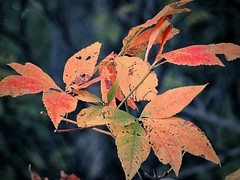 Early Color (Lana Pahl / Country Star Images) Tags: catchycolors autumncolors autumnseason petalsandfrost