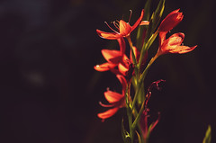 Last light (garlick.rachel) Tags: flower red bloom lastlight fiery warm warmth autumn burnt orange burntorange