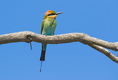 Rainbow Bee-eater (christinaportphotography) Tags: rainbowbeeeater meropsornatus beeeater crowdyhead nsw australia bird birds wild free branch perch focus colour rainbow