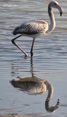 Fenicottero (AngeloM1975) Tags: fenicottero sardegna sardinia cagliari stagno flamingo genti arrubia riflessi