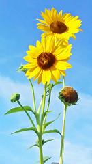 YOU ARE MY SUNSHINE, MY ONLY SUNSHINE (Irene2727) Tags: flower sunflowers bluesky blue yellow nature lowangle flora