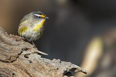 Striated Pardalote 2016-09-04 (60D_3139) (ajhaysom) Tags: striatedpardalote pardalotusstriatus woodlandshistoricpark greenvale melbourne australia australianbirds canoneos60d sigma150600