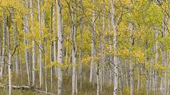 Aspen Trees Panorama (Lake Vermilion1) Tags: autumn yellow leaves forest fall foliage panorama colorado aspen aspentrees nikon reallyrightstuff d810 gitzo lakevermilionphotos landscape lights outdoor tree plant serene