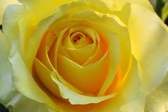 Rose 'Golden Medallion' raised in Germany (naruo0720) Tags: rose germanrose goldenmedallion yellowrose       germanrosecollection