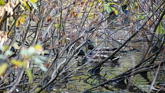Duck (anton_avramchuk) Tags: birds russia ducks animals water
