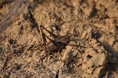 Ortpteros en Bell-Estar (esta_ahi) Tags: bellestar orthoptera insectos fauna santamargaridaielsmonjos peneds barcelona spain espaa