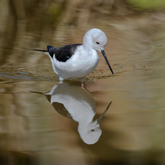 Black winged Stilt. (Delboy Studios) Tags: pensthorpe