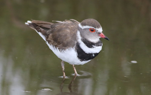 Three-banded Plover (or Three-banded Sandplover), Charadrius tricollaris, at Marievale Nature Reserve, Gautent, South Africa