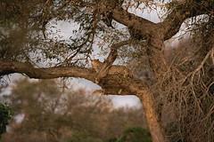 African sunset (crafty1tutu (Ann)) Tags: travel holiday southafrica africa african animal leopard tree sunset wild inthewild free roamingfree motswariprivategamereserve safari safarivehicle crafty1tutu canon7dmkii ef100400mmf4556lisiiusm anncameron carnivore naturethroughthelens