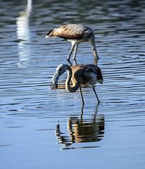 Flamneco  -  flamingo (ibzsierra) Tags: ibiza eivissa baleares canon 7d 2100400 is usm ave bird oiseau flamenco flamingo salinas parque natural