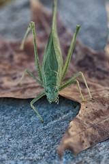 Katydid (nataliekrovetz) Tags: macro insect katydid 100mm nature