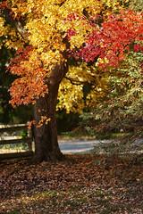 _DSC2537 (BrettGV) Tags: autumn sonnart18135