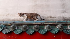 Catwalk @ Lungshan Temple (stardex) Tags: lungshantemple temple cat animal catwalk roof rooftop taipei taiwan