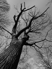 Distinction (thephohemian) Tags: thephohemian bw bark blackandwhite branches clouds creativewriting dark fall highlights leaf light monochrome nature poem poetry shadows sky treetrunk twigs