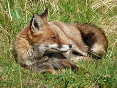 Fox (Peanut1371) Tags: fox mammal red ears tail nationalgeographicwildlife