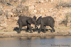 19-South_Africa-2016 (Beverly Houwing) Tags: africa drink elephant krugerpark phalaborwha southafrica wateringhole play scuffle wrestle