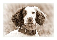 Portrait of a Puppy (Missy Jussy) Tags: dogportrait portrait dog puppy male animal englishspringer springerspaniel spaniel sepia monochrome bokeh canon cannon600d outdoor