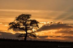 DOWN AT THE LOCAL.... (mark_rutley) Tags: fareham hampshire lonetree nature sunset tree aut clouds sky light field farm singletree