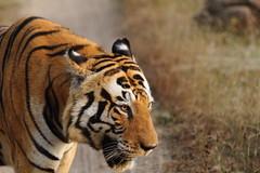 Munna - almost hits our jeep (Chandrasekhar Bhattacharya) Tags: tiger kanha forest kisli jungle royalbengaltiger