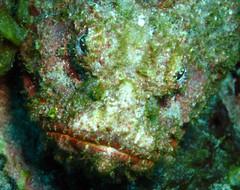scorpion fish eyes and mouth (Carpe Feline) Tags: carpefeline mauritius scubadiving ocean reefs morayeels anemonefish scorpionfish lionfish arrowcrab nudibranch needlefish underwater