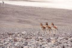 IMG_0353 (Archna Singh Photography and Design Studio) Tags: canon ladakh zanskar jammukashmir khardungla rohtang tsokar india nature tropicaldesert buddhism