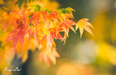 IMG_1702 (CBR1000RRX) Tags: 650d canon taiwan travel tourist landscape maple leaf autumn