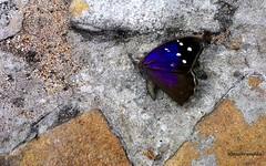 Borboleta - Explore 10-11-16 (Sophie Carrire) Tags: borboleta insetos azul