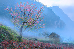 _DSC5903.sapa vietnam.315 (HADAO PHOTO) Tags: daoha daohaphoto sapa hoađào mùaxuân nắngxuân ôquýhồ vùngnúi spring sakuraflower nikon