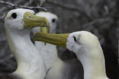 Three Is a Crowd (puliarf) Tags: galápagosislands española wavedalbatross phoebastriairroata nationalgeographic endeavor lindbladtour ecuador bird galápagos