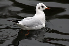 Little Gull (NTG's pictures) Tags: reddish vale stockport cheshire swans canada geese ducks mallards tufted coots moorhens cormorants heron kingfisher crows pigeons collard doves magpies sparrows robin dunnocks little gull first winter