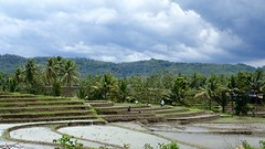 Terraced (Season Clauss) Tags: indonesia terraced ricefields flooded farmers java jawa