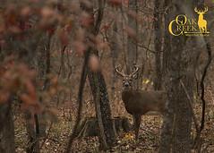 Young buck in the Ozarks (oakcreekhunt) Tags: fall foliage ozarks whitetail whitetaildeer wwwoakcreekwhitetailranchcom worldrecordwhitetail whatgetsyououtdoors mrwhitetail sci sportear scenery leaves deer dsc deerhunting outdoor recordbookdeer