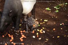 Maleise Tapir - Tapirus Indicus - Malayan Tapir (MrTDiddy) Tags: maleise tapir tapirus indicus malayan zoogdier mammal raja baby young jong kalf calf zooantwerpen zoo antwerpen antwerp