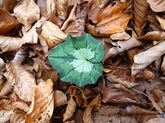Άγριο κυκλάμινο - wild cyclamen (st.delis) Tags: άγριοκυκλάμινο πεσμέναφύλλα δάσοσγραμμένησοξυάσ φθιώτιδα ελληνικήχλωρίδα ελλάδα wildcyclamen fallenleaves forestofgrammenioxya greekflora fthiotida hellas