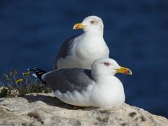 Yellow-legged gulls (Geminiature Nature+Landscape Photography Mallorca) Tags: yellowleggedgull larusmichahellis gaviota patiamarilla meeuwen gaviotas gulls geelpootmeeuw aves birds aus vogels mallorca