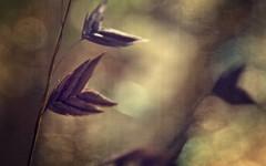 Chasmanthium latifolium (Anne Worner) Tags: anneworner chasmanthiumlatifolium em5 poaceae arrow backlight closeup clumpforming filter grassfamily hanging inlandseaoats layers macro olympus perennial texture uniolalatifolia uplandseaoats seeds grass