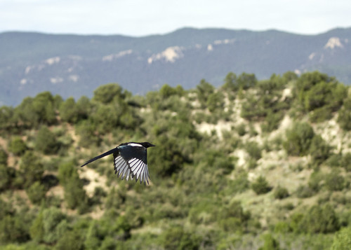 magpie in flight 2