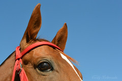 Chestnut Olive (Ceci ♥ Cuteness) Tags: eqteam2016 equestrian horse halter chestnut thorougbred eye blaze ears red sky macro closeup