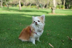 Jezebel at the park (PM Clark) Tags: chihuahua purebred dog cute fujifilm xe1 zeiss 32mm f18 leichhardt