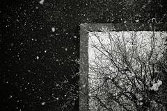 201611241008 (jahmony) Tags: monochrome blackandwhite bw blackwhite bnw tree street streetsnap snow snowing tokyo japan asphalt
