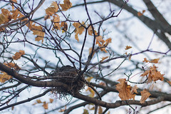 What I Saw Today (Theresa Best) Tags: nature nest fall autumn fmsphotoaday theresa best sprouting visions canon canon760d canont6s canon8000d tree