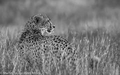 Cheetah (m.taylor@avesafrica) Tags: africa african africanwildlife carnivore horizontal mpumalanga nature photography predator southafrica wildlife