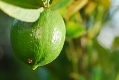 dayap (lime) explore (DOLCEVITALUX) Tags: dayap lime philippines medicinalplants plant plants fruit