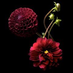 Dahlias (Explore) (Pixel Fusion) Tags: dahlia flower flora nature macro nikon d600