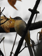 Grey Wagtail (stamford0001) Tags: newcastle upon tyne